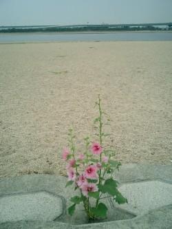 タチアオイちゃん (2).JPG