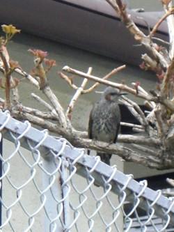 木に馴染んでいる鳥 4(4).JPG