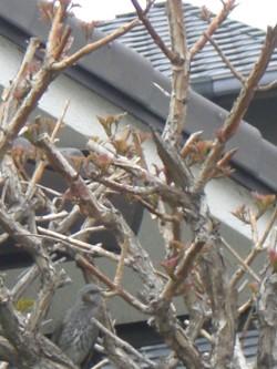 木に馴染んでいる鳥2 (1).JPG